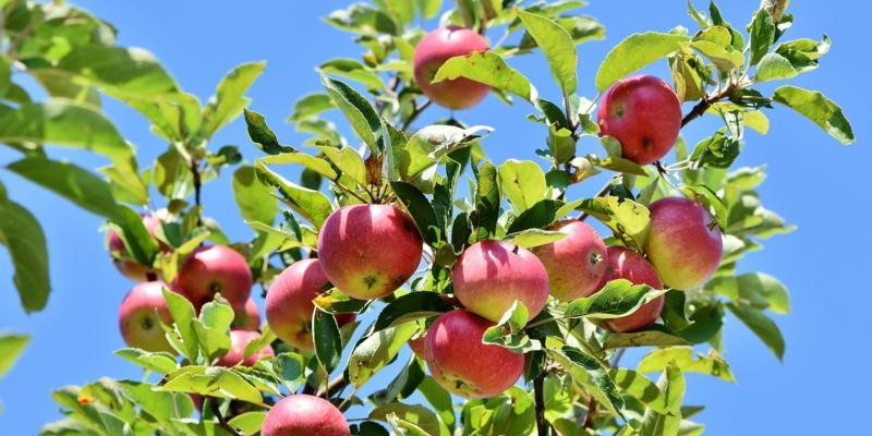 Appelboom tak