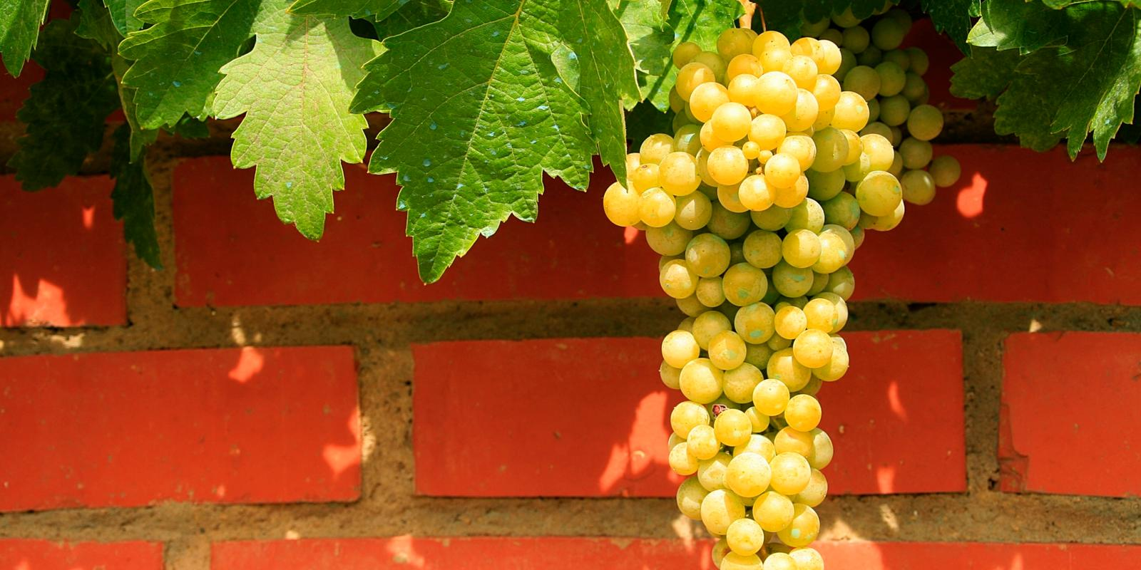 Witte druiventros