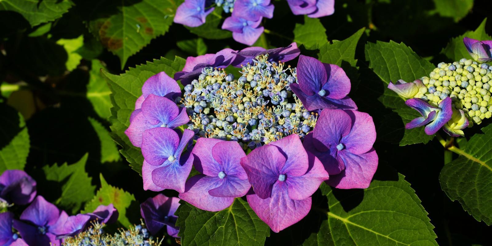 bruine bloemen hortensia verwijderen