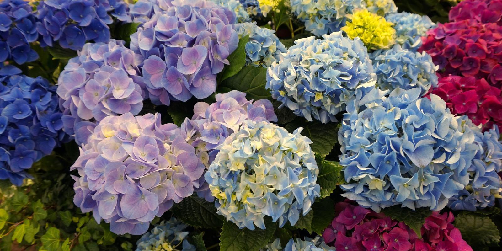 Dubbelbloemige Hortensia snoeien
