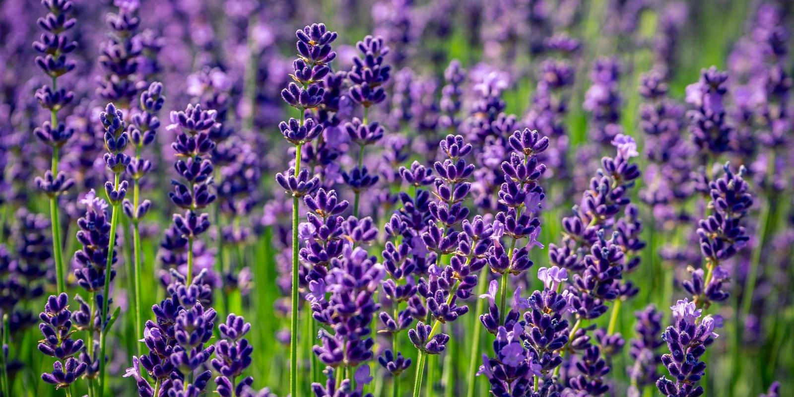 Lavendel knippen