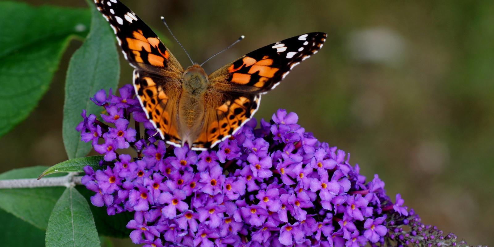 Bloeiende vlinderstruik