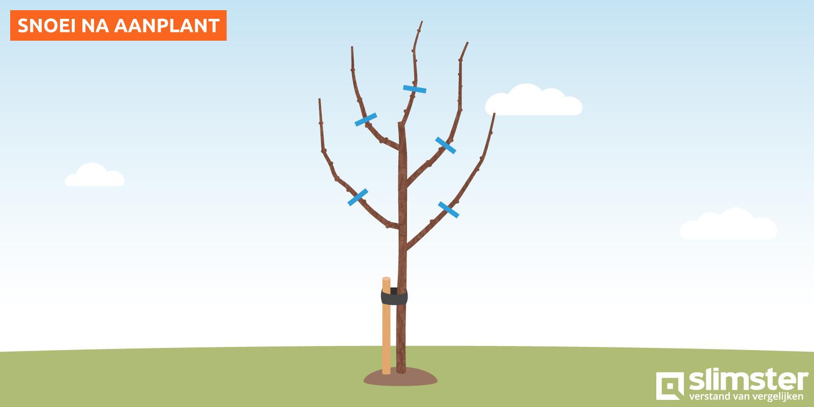 Appelboom snoeien na aanplant