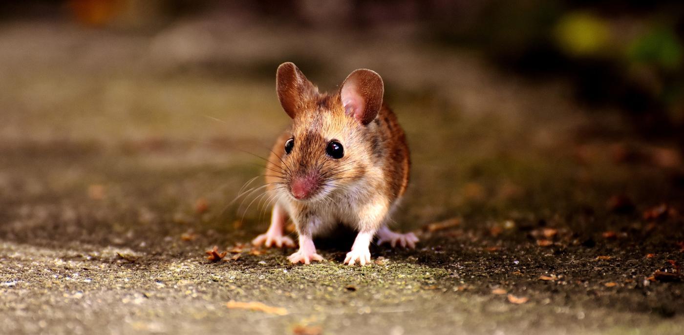 Muizen bestrijden kosten & tips