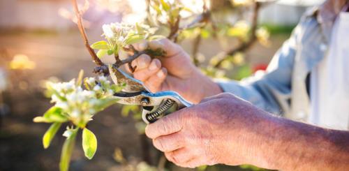 appelboom snoeien wanneer