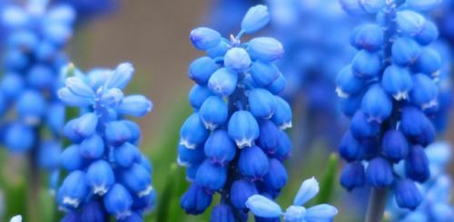 Blauwe druif bloembollen
