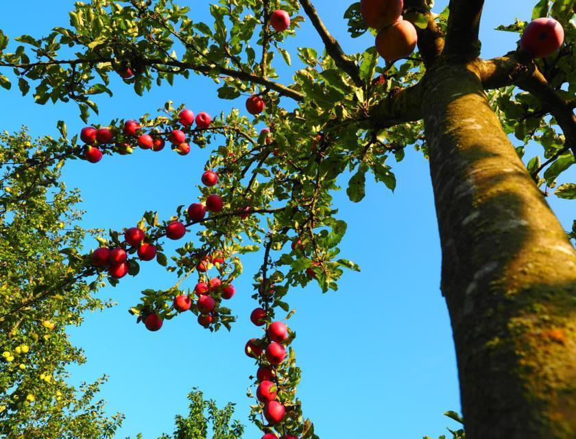 Appelboom snoeien