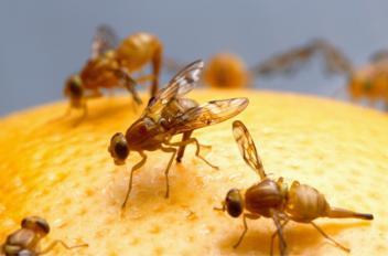 Hoe fruitvliegjes bestrijden?