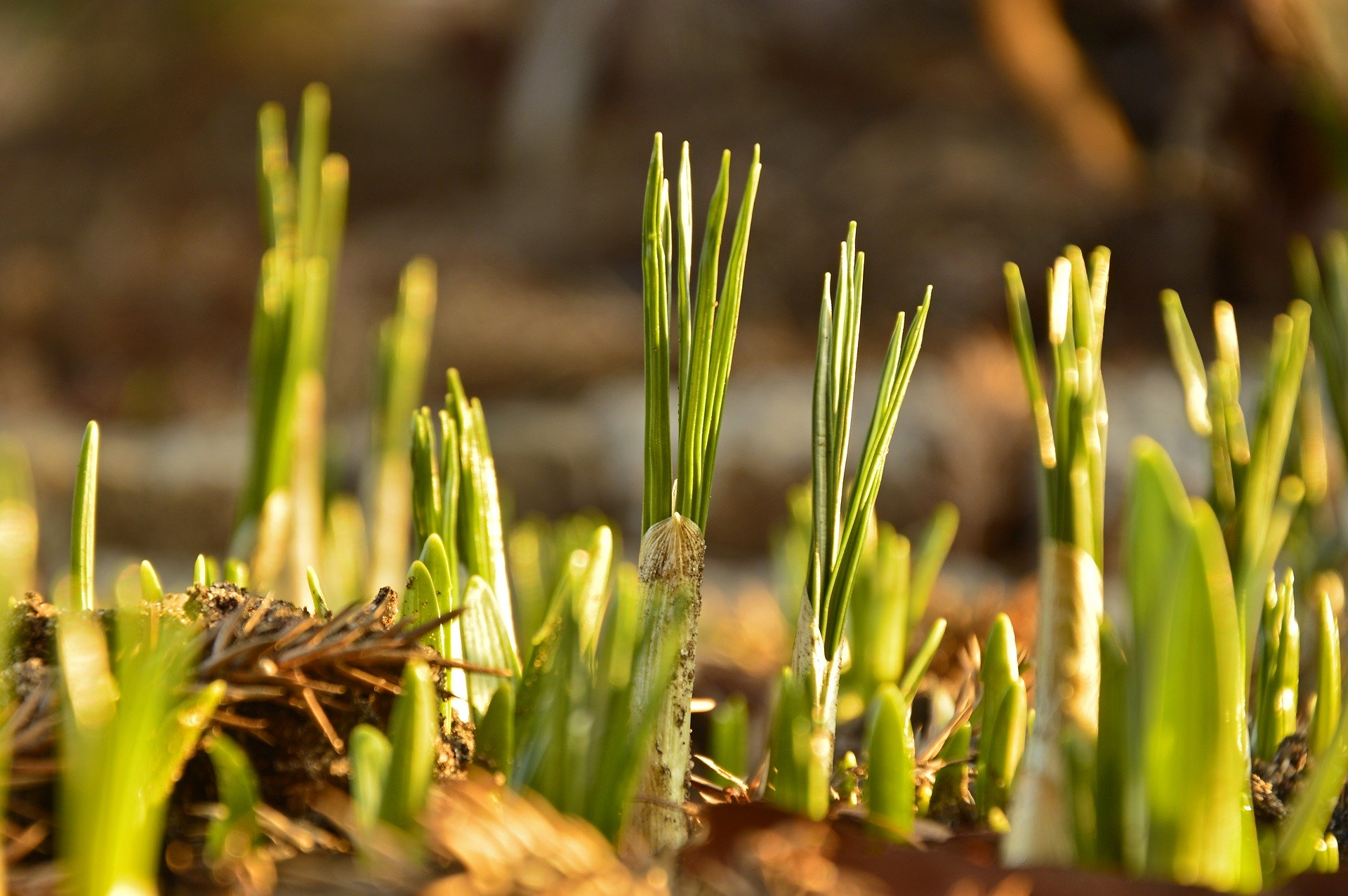 Narcis bloembollen