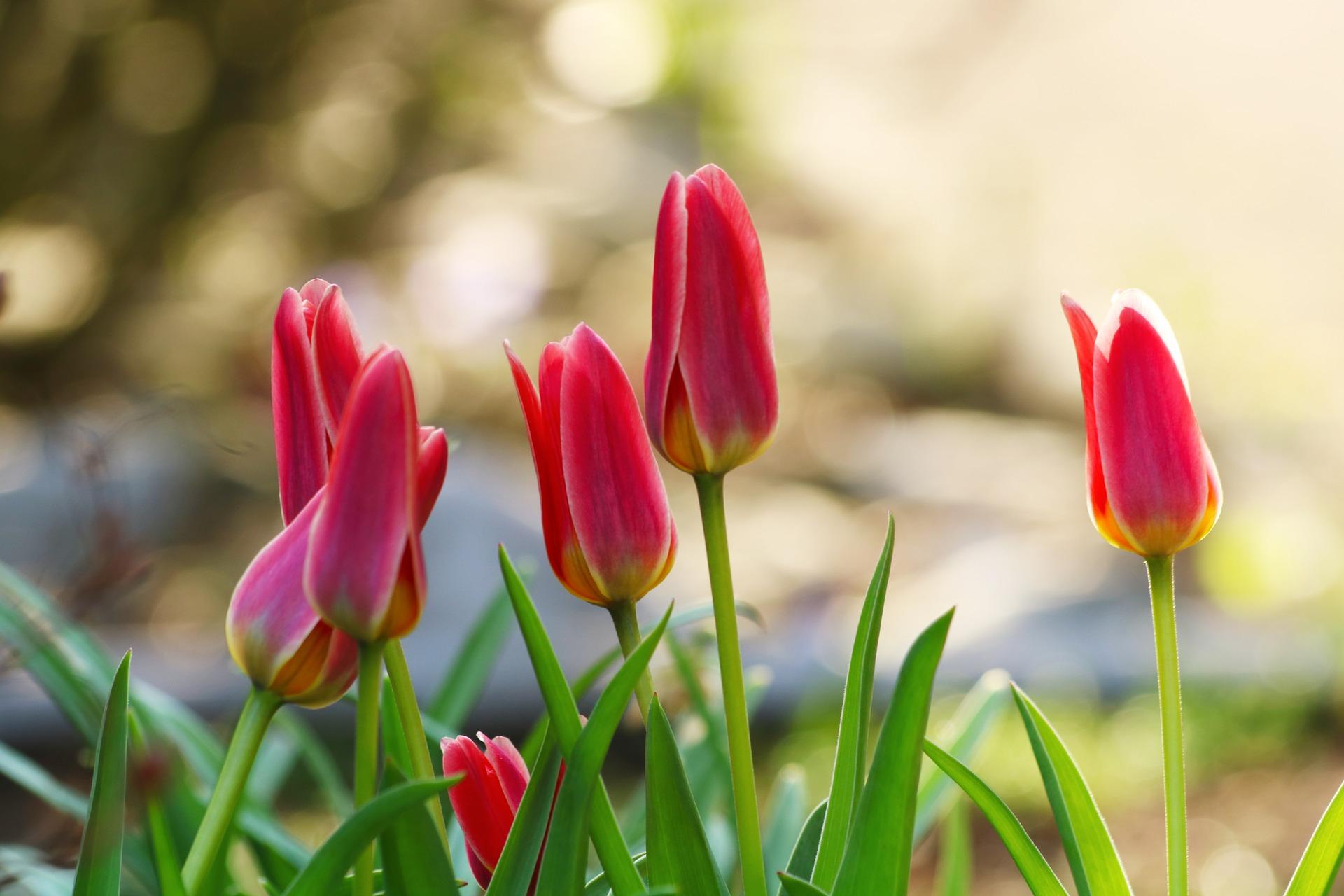 Tulp bloembollen