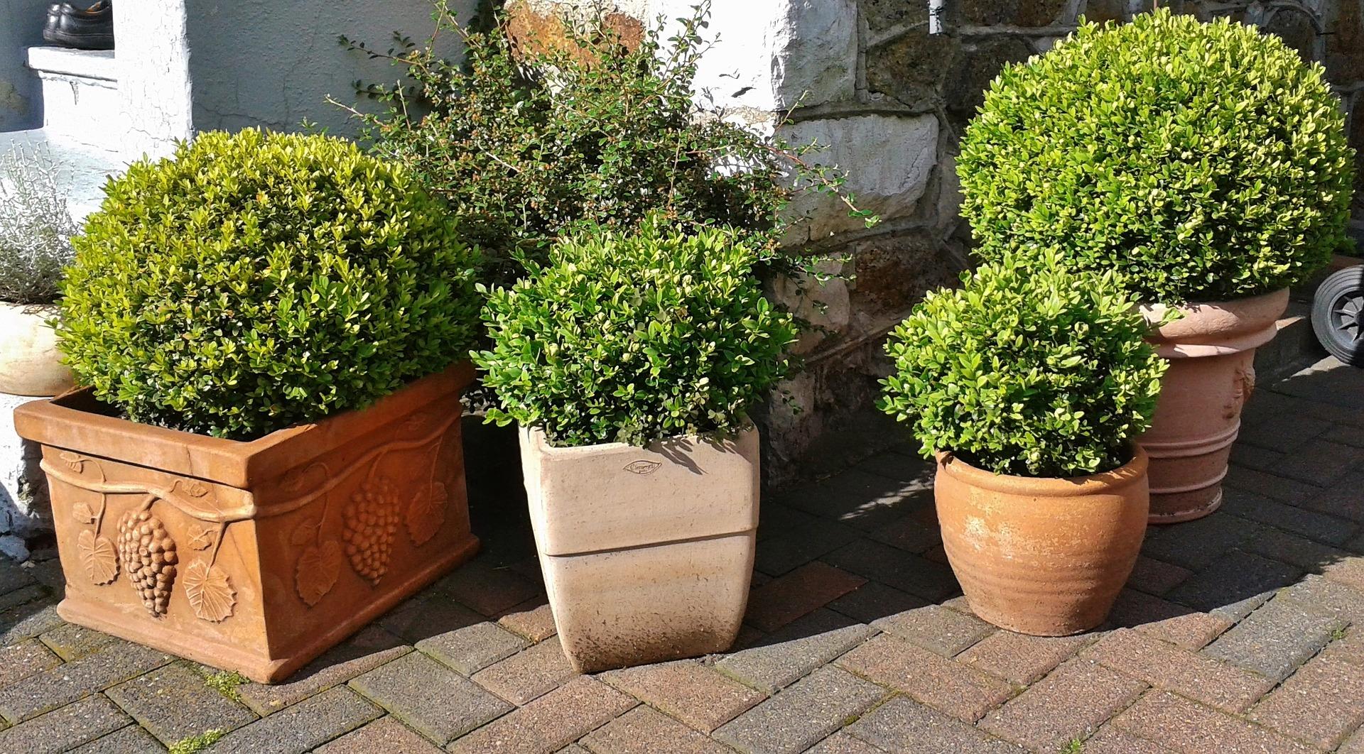 Buxus in pot verzorgen