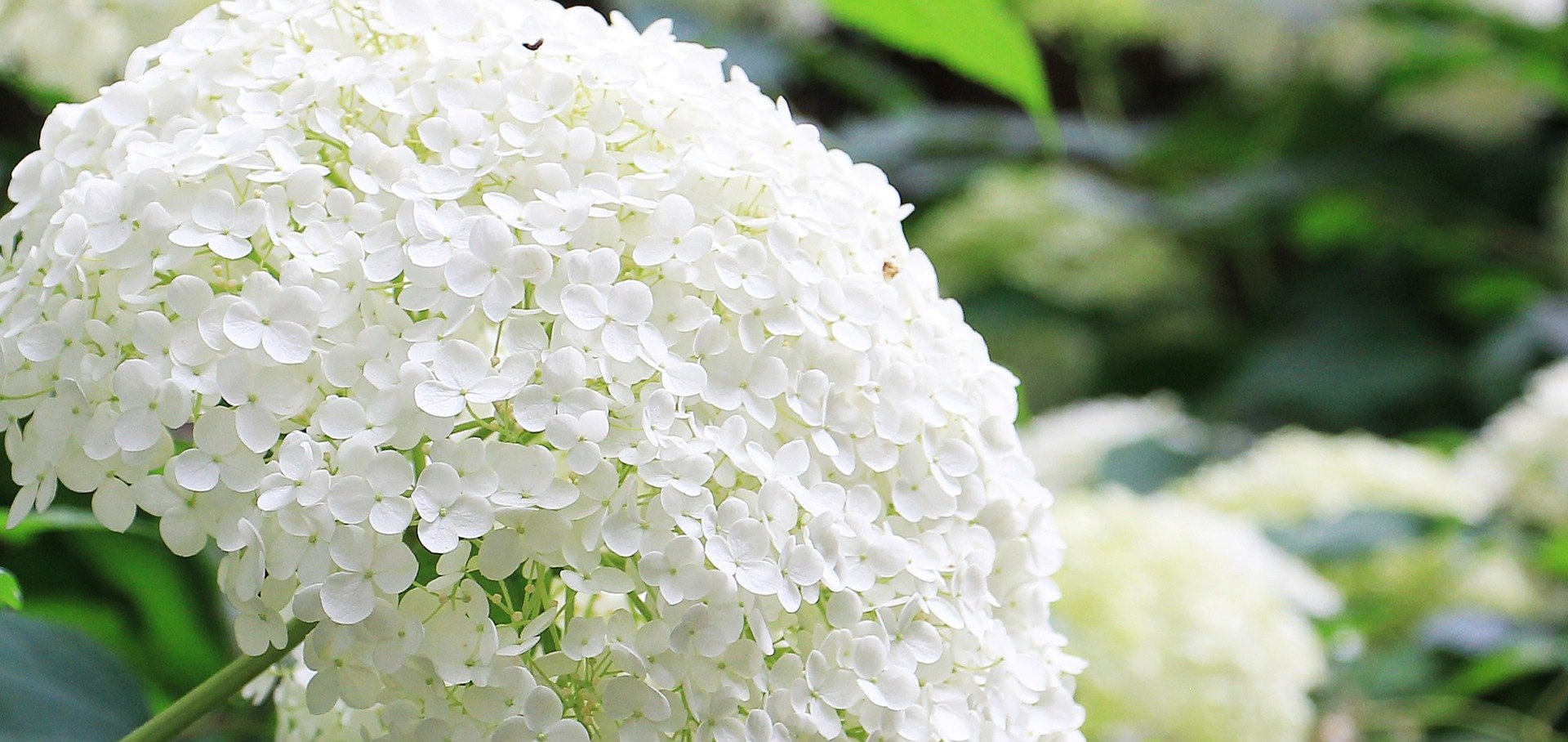 Sneeuwbal Hortensia snoeien