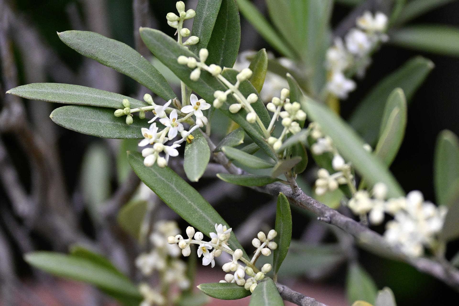 Olijfboom bloemen
