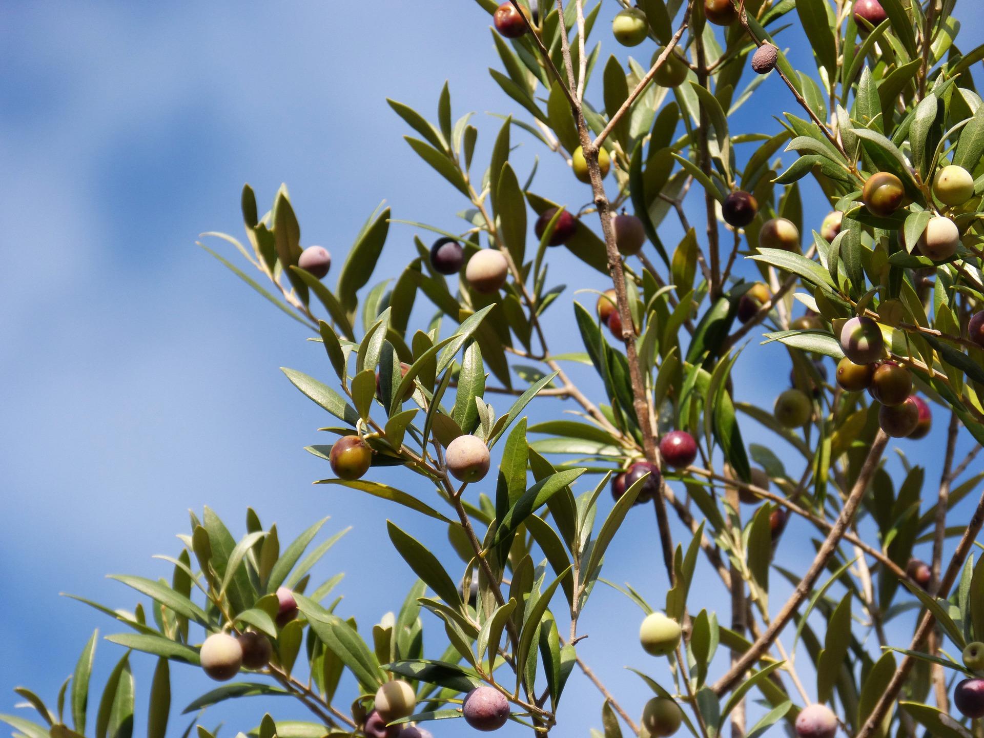 Hoe olijfboom snoeien en verzorgen?