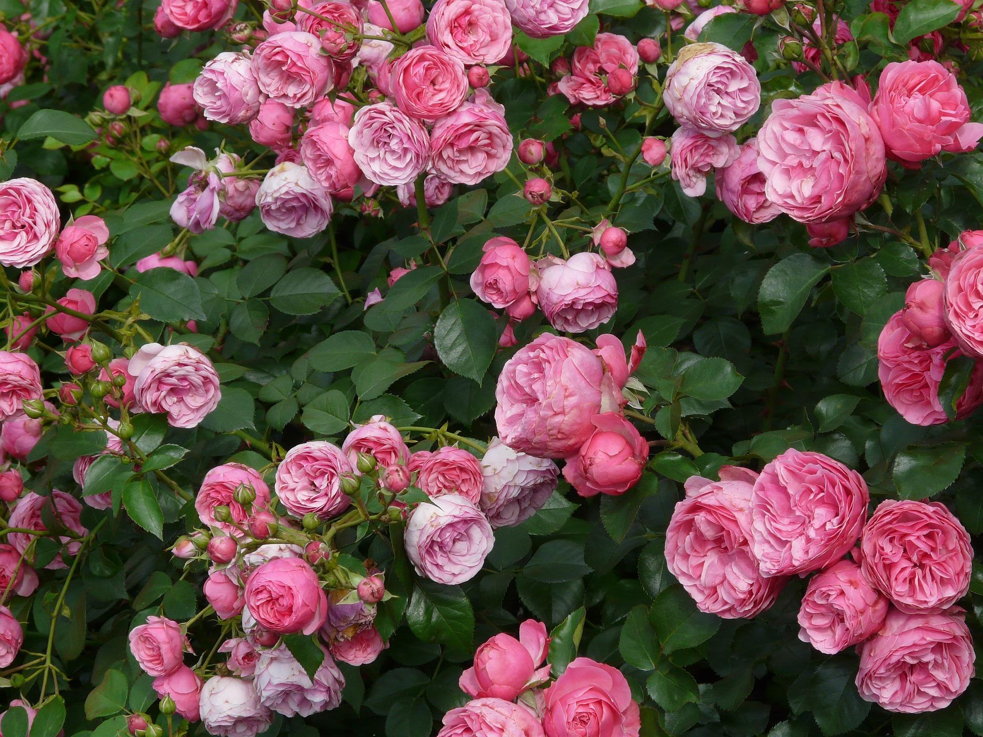 Hoe rozen snoeien?