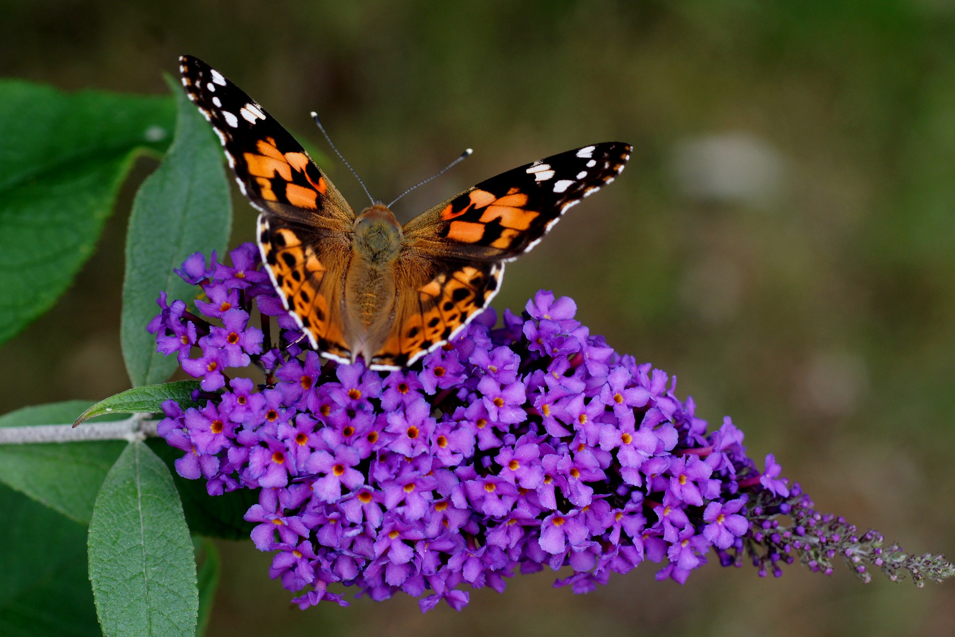 Hoe vlinderstruik snoeien en verzorgen?